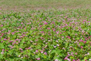 赤ソバの花畑の写真素材 [FYI02999830]
