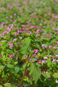 赤ソバの花の写真素材 [FYI02999831]