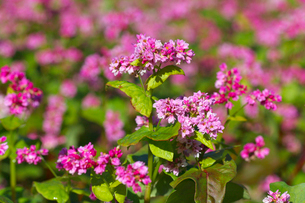 赤ソバの花の写真素材 [FYI02999842]
