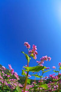 赤ソバの花と青空の写真素材 [FYI02999845]