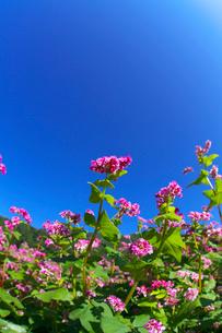 赤ソバの花と青空の写真素材 [FYI02999847]