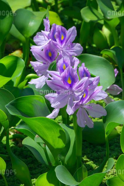 ホテイアオイの花の写真素材 [FYI02999848]