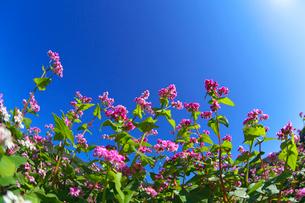 赤ソバの花と青空の写真素材 [FYI02999850]