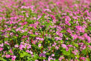赤ソバの花の写真素材 [FYI02999851]