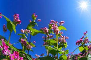 赤ソバの花と青空と太陽の写真素材 [FYI02999856]