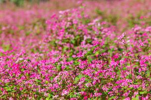 赤ソバの花の写真素材 [FYI02999858]