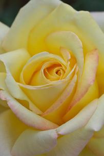 黄色いバラの花の写真素材 [FYI02999880]