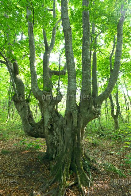 新緑のブナの巨木 燭台の写真素材 [FYI02999907]