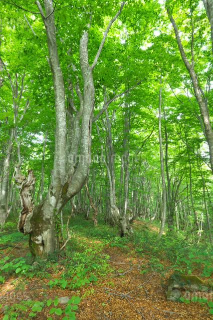 新緑のブナ林の写真素材 [FYI02999918]