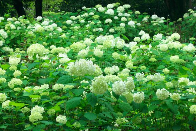 アナベル アメリカアジサイの花の写真素材 [FYI02999982]