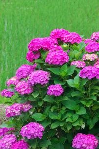 アジサイの花と田んぼの写真素材 [FYI02999983]