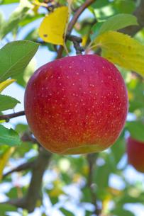 リンゴの果実の写真素材 [FYI03000007]