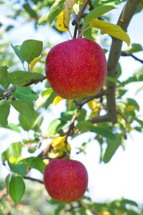 リンゴの果実の写真素材 [FYI03000012]