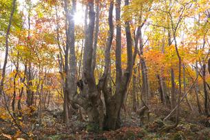ブナ林の紅葉と木漏れ日の写真素材 [FYI03000025]