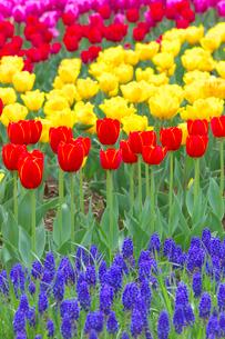 チューリップの花畑とムスカリの写真素材 [FYI03000097]
