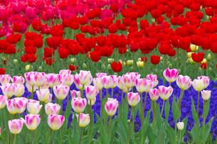 チューリップの花畑とムスカリの写真素材 [FYI03000098]