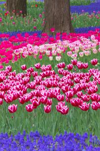チューリップの花畑とムスカリの写真素材 [FYI03000103]