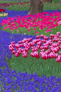 チューリップの花畑とムスカリの写真素材 [FYI03000105]
