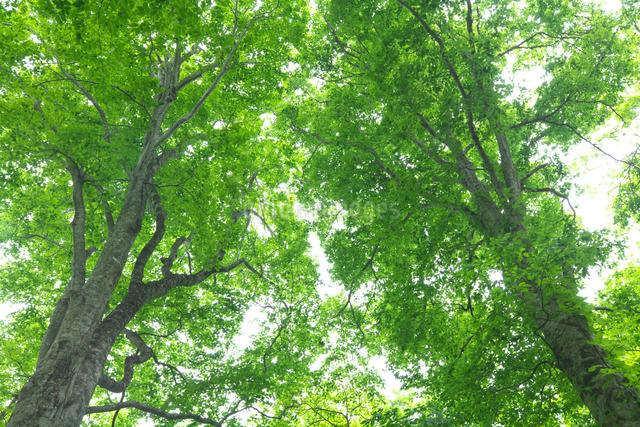 新緑のブナ林の写真素材 [FYI03000179]