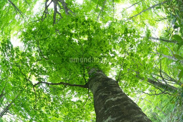 新緑のブナ林の巨木の写真素材 [FYI03000184]