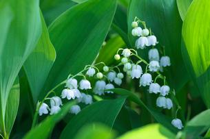スズランの花の写真素材 [FYI03000186]