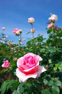 ピンクのバラと青空の写真素材 [FYI03000233]
