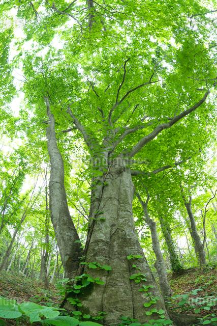 新緑のブナ林の巨木の写真素材 [FYI03000263]