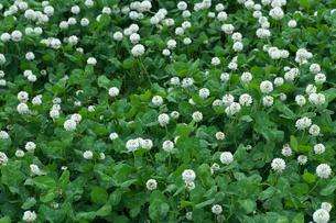 シロツメクサの花の写真素材 [FYI03000294]