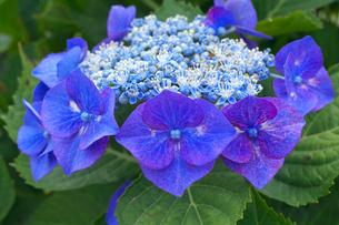 ガクアジサイの花の写真素材 [FYI03000305]