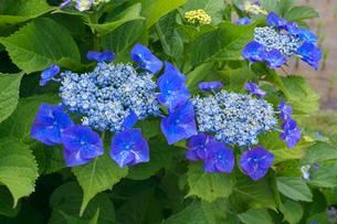 ガクアジサイの花の写真素材 [FYI03000312]