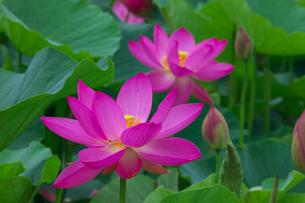 ハスの花の写真素材 [FYI03000340]