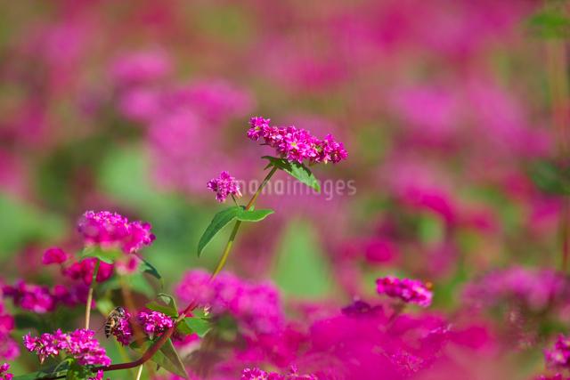 赤ソバの花のアップの写真素材 [FYI03000398]