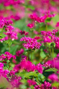 赤ソバの花のアップの写真素材 [FYI03000405]