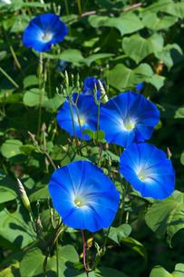 アサガオの花の写真素材 [FYI03000413]