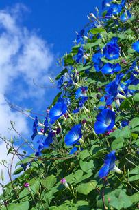 アサガオの花の写真素材 [FYI03000416]