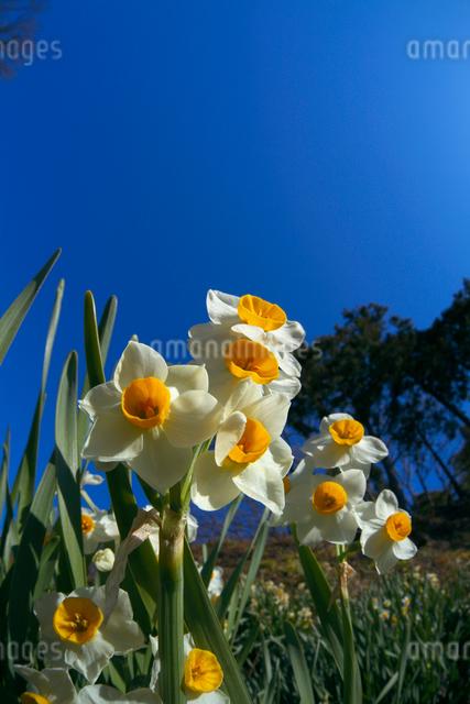 日本スイセンの花の写真素材 [FYI03000624]