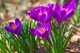 クロッカスの花の写真素材 [FYI03000776]