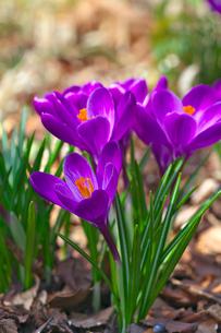 クロッカスの花の写真素材 [FYI03000777]