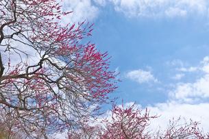 湯河原梅林の紅梅の花と青空の写真素材 [FYI03000793]