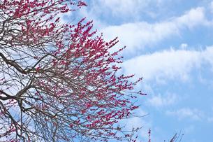 湯河原梅林の紅梅の花と青空の写真素材 [FYI03000794]