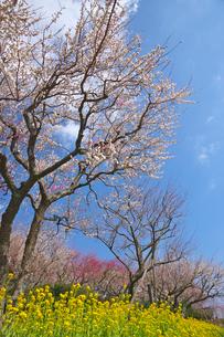 湯河原梅林の梅の花と菜の花の写真素材 [FYI03000798]