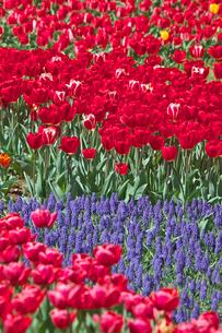 チューリップの花畑とムスカリの写真素材 [FYI03000817]