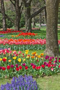 チューリップの花畑とムスカリの写真素材 [FYI03000822]