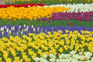 チューリップの花畑とムスカリの写真素材 [FYI03000837]