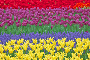 チューリップの花畑とムスカリの写真素材 [FYI03000838]