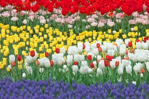 チューリップの花畑とムスカリの写真素材 [FYI03000839]