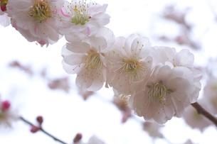 梅の花のアップの写真素材 [FYI03000841]