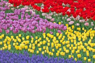 チューリップの花畑とムスカリの写真素材 [FYI03000842]