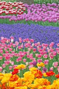 チューリップの花畑とムスカリの写真素材 [FYI03000844]