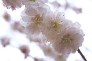 梅の花のアップの写真素材 [FYI03000845]